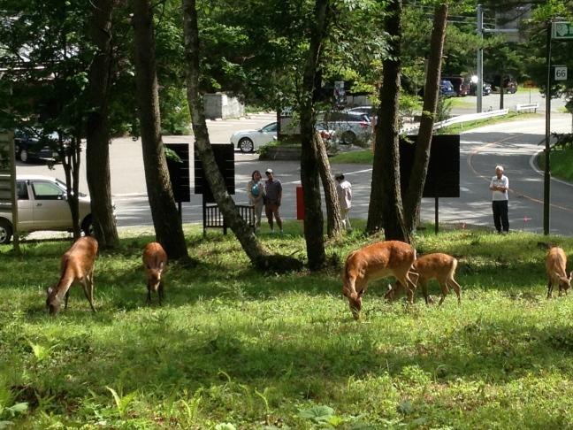 別荘地内を荒らし回る鹿一家と楽しそうに眺める観光客 2013年9月